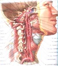 人体血分布�_脑动脉盗血与眩晕
