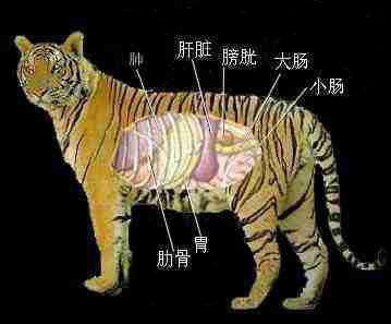 动物内脏分布图