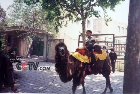信件内容 它的名字叫毛毛,是个可爱的小骆驼.