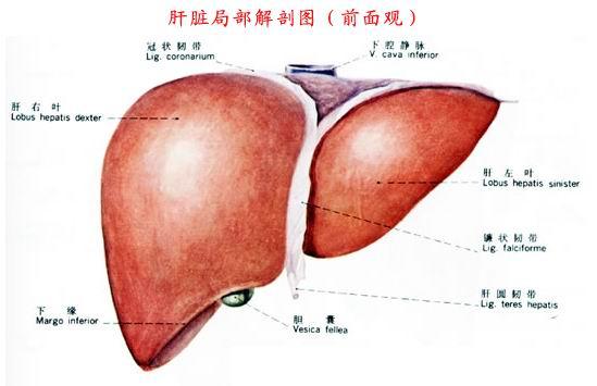 胆囊及周围脏器解剖 图 -健康频道