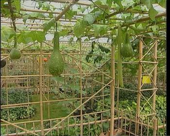 西红柿架子怎么搭图片