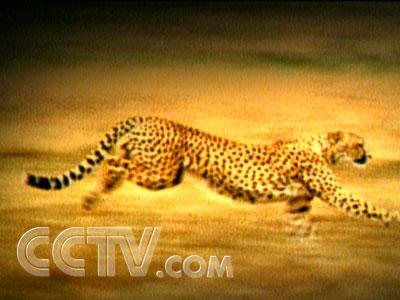 17     猫科动物是机敏的杀手,都武装着有力的四肢,锋利的爪子,伪装性