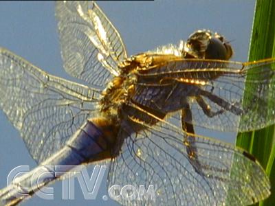 昆虫中的直升机蜻蜓