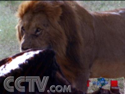 流浪狮子觅食很困难,很多时候只能吃一些动物的尸体