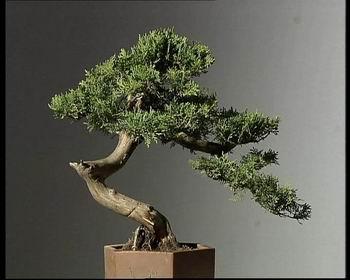 信息中心 论柏树盆景制作   柏树盆景制作方法包含侧柏,圆柏,扁柏,花