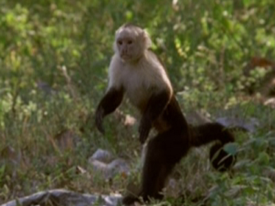 卷尾猴是地球上适应能力最强的灵长类动物