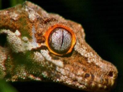 新喀里多尼亚仍旧是爬行动物的天下