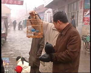 虎皮鹦鹉公母分辨图_虎皮鹦鹉用多大的笼子才能繁殖还有辨别公母