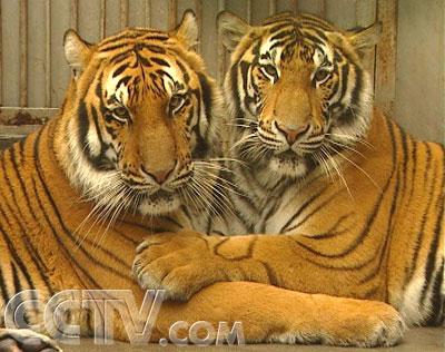 老虎和猫的故事