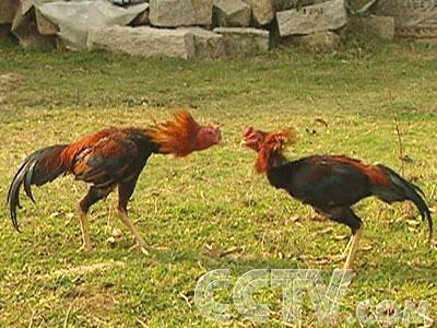 这在农村经常够看到.其实,这两只可不是普通的拐杖,它们是斗鸡.v农村用的公鸡叫什么图片